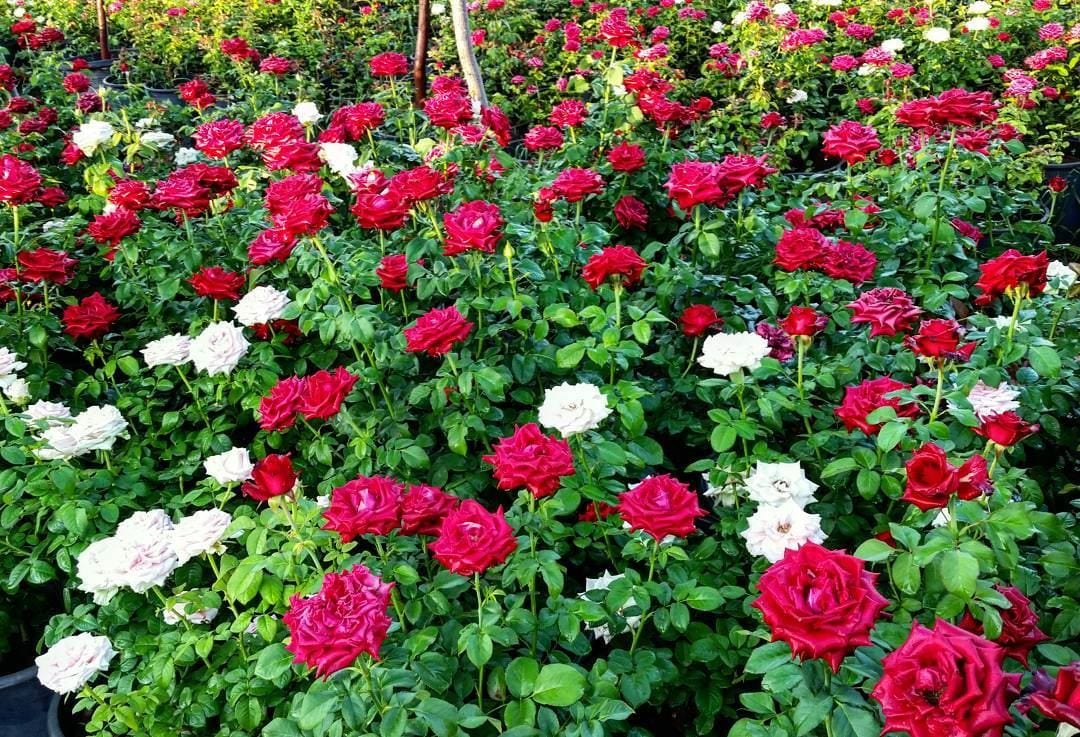 How To Hybridize New Rose from Two Existing Types